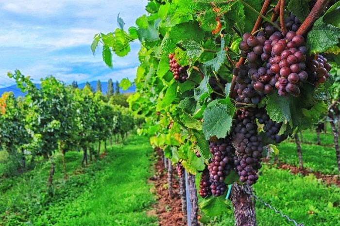 イタリアワインができるまで 収穫から瓶詰めまでの工程をわかりやすくチェック!